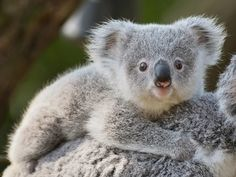 Call to declare koalas 'endangered' in NSW - Environmental Defenders Office Super Cute Animals, Cute Funny Animals, Cute Baby Animals, Wild Animals, Baby Koala, Baby Otters, Cute Koala Bear, Wombat, Koala Marsupial