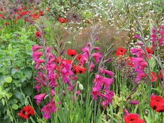 Jewels. Great Dixter. Gladiolus byzantinus, fennel, poppies, seedheads from Alliums.
