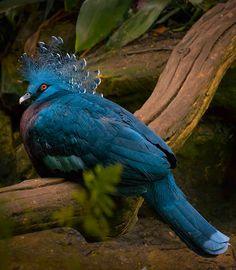 Louvai ao Rei dos Reis, filho do Altíssimo.  Victoria Crowned Pigeon