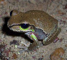 Litoria citropa, llamada en inglés Blue Mountains Tree Frog (Rana arborícola de las Montañas Azules es una especie de anfibio anuro del género Litoria, de la familia Hylidae. Es especie originaria de Australia.