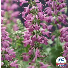 Salvia Summer Jewel™ Lavender - 2016 AAS Flower Winner The unique flower color of dusty lavender purple is a delight in the garden and flower containers as well as a major attractor of pollinators including bees, butterflies, and hummingbirds.