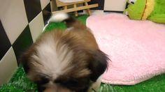 ペットエコ長町店に7/30に入荷しました! ♪むちゃカワ!!人懐っこい仔です(*^_^*) 詳細はこちら!http://www.yoneyama-pt.co.jp/peteco/sendai/
