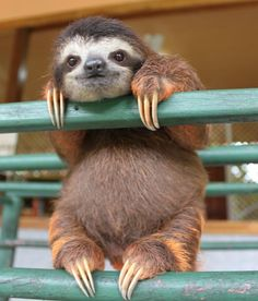 Baby sloth at the Costa Rican sloth sanctuary
