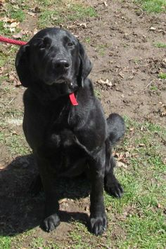 URGENT!!!! PLEASE SPONSOR BUBBA!!!! FOUND IN CANTON, OHIO....Meet 20  Bubba a Petfinder adoptable Black Labrador Retriever Dog | Canton, OH | Release date 4/12.    Bubba, now this is a big Black Lab!  He is very friendly, playful, and...