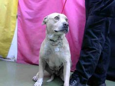 DEVORE,CA. EUTH LIST. 12/14/17. Dolly ID#A686948. 3 yr. old female Pit Bull Terrier. Rescue only. Dog aggressive. Arrived 12/09/17.