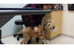 Így örült a vak kutya a rég nem látott gazdáinak - Újabb megható videó egy csodálatos gyógyulásról!  #kutya #dog  #videó   #video #cukorbetegség #diabetes  #műtét #surgery  #gyógyulás   #kutyabaráthelyek