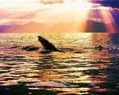 HD humpback whale wallpaper