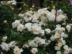 Penelope rose. Very similar to Sally Holmes.