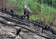 (AP Photo/Rony Muharrman). In this Sunday, Nov. 10, 2015 photo, an elephant used to patrol areas affected by forest fires walk on a burned field in Siak, Riau province, Indonesia. Officials in Indonesia are using trained elephants to carry water pumps ...