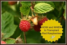 Everything about HOW and WHEN to transplant, divide, or propagate Red Raspberries - STEP-BY-STEP with pictures! Increase the size of the patch or make it manageable again.