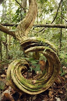Women Goddesses   Rainforest Undergrowth Print by Dr Morley Read