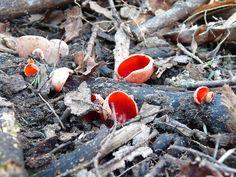 Mushroom Photo: Scarlet Elfcup