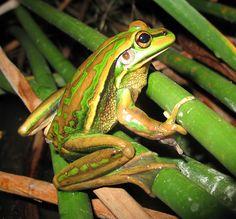 Australian Green and Gold Bell Frog (Litoria aurea) endangered