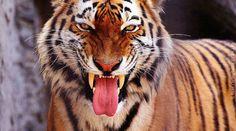 Rettet die Tiger vor der Deutschen Bank