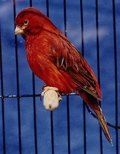 What are Red Factor canaries?
