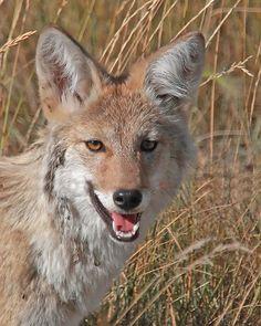 Coyote by Elfie Hall, via Flickr