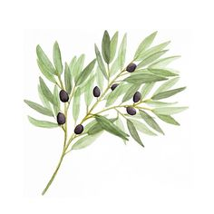 Painting olive branches on a frigid Saturday afternoon is the perfect way to imagine spring is (almost) here! • • • #dailydoseofpaper #olivebranches #olivebranch #stationerydesign  #design #creative #paper #greenery #botanicalillustration #botanical  #botanicals #botanicalartist  #spring #art #artwork #artoftheday  #watercolor #watercolorpainting #watercolorart #art_we_inspire #inspiringwatercolors #waterblog #watercolor_gallery #watercolour #watercolorartist #watercolorart…