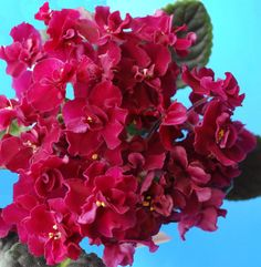 African Violet Flowers | African Violets (flowers)