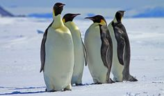Snow Hill Island, Antarctica  | Emperor Penguins, near Snow Hill Island, Antarctica | Flickr - Photo ...