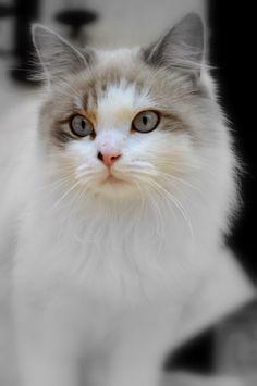 Sweet Ragdoll Kitty