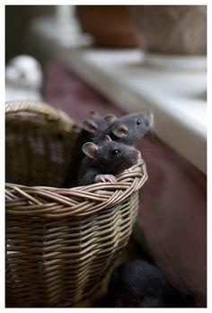 Baby Rats | Flickr - Photo Sharing!