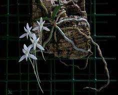 Mystacidium venosum - Orchid Forum by The Orchid Source