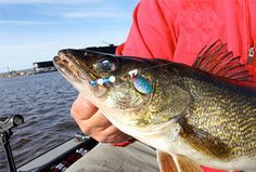 Lindy Land - Ultimate Guide To Better Spinner Rigging For Walleyes Walleye Rigs, Walleye Fishing Tips, Fishing Life, Gone Fishing, Fishing Stuff, Fish Information, Lake Fork, Fishing Basics, How To Relieve Stress