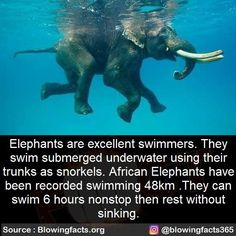 Elephants are excellent swimmers. They swim submerged underwater using their trunks as snorkels. African Elephants have been recorded swimming . They can swim 6 hours nonstop then rest without. Amazing Science Facts, Interesting Facts About World, Wtf Fun Facts, Funny Facts, Strange Facts, Random Facts, Amazing Facts, Random Stuff, Animal Facts For Kids