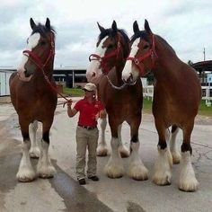 Clydesdales- to give you an idea of their size....!