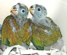 Maximilian Pionus Parrots