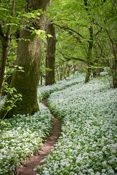pathodel:  (via Jeff Bevan - Footpath through the Wild Garlic - Milton Wood, Somerset)  HH:  Narrow path through floral carpeted woods.