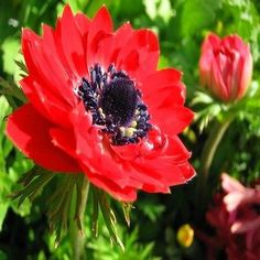 50+ Anemone Red Flower Seeds , Under The Sun Seeds