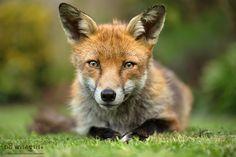 Friendly Fox by Giedrius Stakauskas - Photo 160226117 - 500px