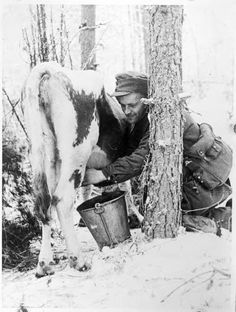 Winter war - Finnish cow - Found on sa-kuva. Ww2 Pictures, Ww2 Photos, Vintage Pictures, Night Shadow, Interesting History, Winter Soldier, World War Two, Wwii, Ww2 History