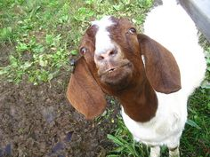 RAISING GOATS AT HOME FOR MILK, MEAT, FLEECE AND PETS