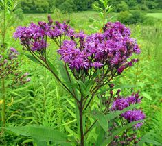 NEW YORK IRONWEED: (Vernoia noveboracensis).  Photograph taken at Independence Marsh, Beaver County, PA, Conservation District, August 21, 2014.