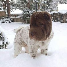 """Shar pei on Instagram: """"Reposted from @charlie.b.curley #sharpei #sharpeisofinstagram #sharpeilove #sharpeipuppy #sharpeiofinstagram #sharpeilovers #topsharpei…"""" Fluffy Puppies, Cute Puppies, Cute Dogs, Dogs And Puppies, Corgi Puppies, Bear Coat Shar Pei, Dogs Tumblr, Shar Pei Puppies, Cute Little Animals"""