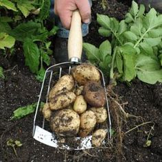 """Mid-handled Potato Harvesting Scoop by Burgon and Ball. This re-interpretation of a traditional potato """"grate"""" is designed to harvest potato crops without damaging them"""