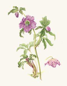 13th Annual International Juried Botanical Art Exhibition 2010: Annie Patterson