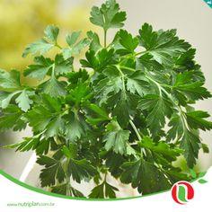 Muitos medicamentos que se originam da natureza, sobretudo das plantas, podem ser cultivadas dentro de casa. A salsa é uma delas.