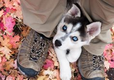 two of my favorites. fall and blue eyed huskies.
