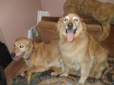 These are Anna & Belle a pair of senior girls who were abandoned at a shelter in the middle of the night. They are a bit overweight and need to lose a few lbs, they walk well on leash, ride well in a car, are spayed, potty trained and up to date with vaccinations. They are a bonded pair and would love to be adopted together in a forever home and are at Great Lakes Golden Retriever Rescue in Michigan.