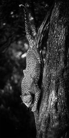 Wild Africa – Les superbes photographies animalières de Laurent Baheux