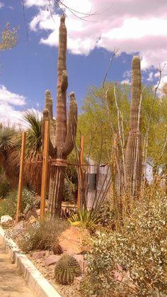 Saguaro #SpringsPreserve