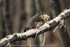 Japanese Squirrel - Sciurus lis - Japan