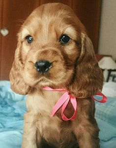 Cute Little Puppies, Cute Dogs And Puppies, Baby Dogs, Pet Dogs, Dog Cat, Doggies, Pets, American Cocker Spaniel, Cocker Spaniel Puppies