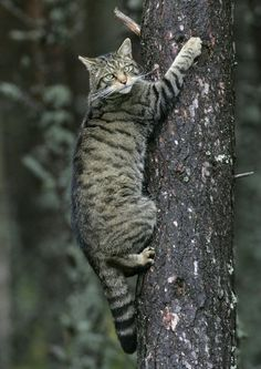 Wildcats in the Angus Glens. The Scottish Wildcat is one of our most endangered native species. Crazy Cats, Big Cats, Cool Cats, Cats And Kittens, Beautiful Cats, Animals Beautiful, Scottish Animals, Animals And Pets, Cute Animals