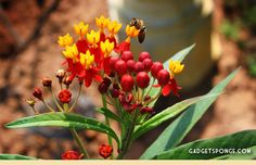 Butterfly Weed Blooms with Honey Bee by GadgetSponge.com - Repurposing, Upcycling, Birds & Nature
