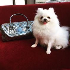 「@Princess_Paris_Jr_The_Pom loves my @ParisHiltonHandbags. ❤️」