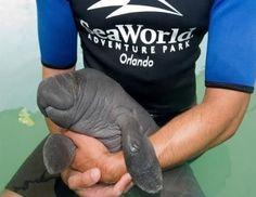 Funny pictures about Baby manatee. Oh, and cool pics about Baby manatee. Also, Baby manatee photos. Cute Creatures, Sea Creatures, Beautiful Creatures, Curious Creatures, Amazing Animals, Animals Beautiful, Baby Animals, Funny Animals, Cute Animals